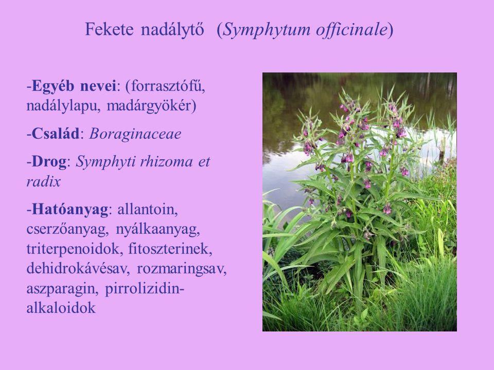Fekete nadálytő (Symphytum officinale) -Egyéb nevei: (forrasztófű, nadálylapu, madárgyökér) -Család: Boraginaceae -Drog: Symphyti rhizoma et radix -Ha