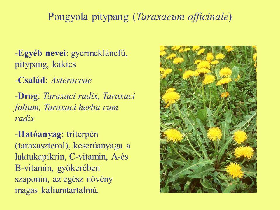 Pongyola pitypang (Taraxacum officinale) -Egyéb nevei: gyermekláncfű, pitypang, kákics -Család: Asteraceae -Drog: Taraxaci radix, Taraxaci folium, Tar