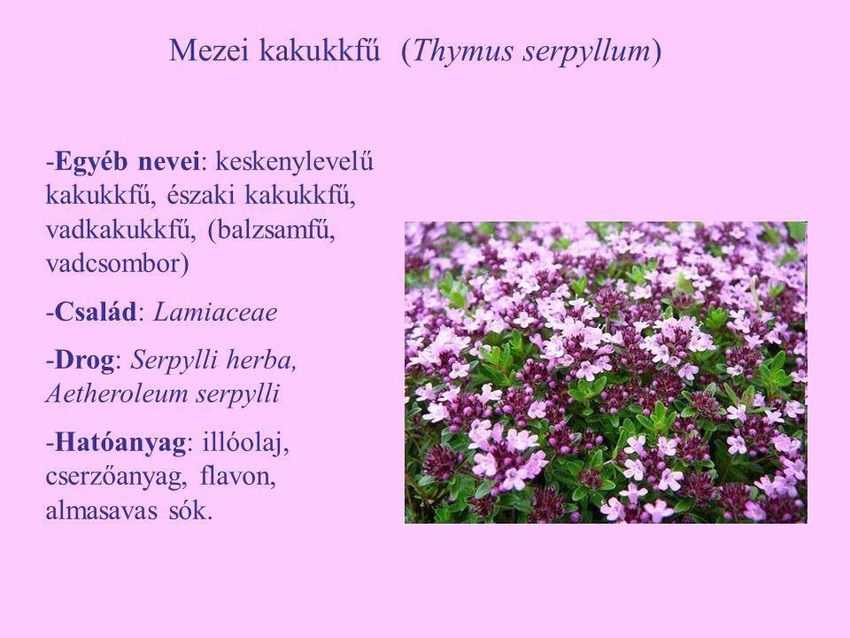 Mezei kakukkfű (Thymus serpyllum) -Egyéb nevei: keskenylevelű kakukkfű, északi kakukkfű, vadkakukkfű, (balzsamfű, vadcsombor) -Család: Lamiaceae -Drog: Serpylli herba, Aetheroleum serpylli -Hatóanyag: illóolaj, cserzőanyag, flavon, almasavas sók.