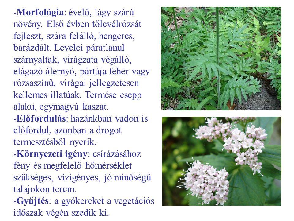 -Morfológia: évelő, lágy szárú növény. Első évben tőlevélrózsát fejleszt, szára felálló, hengeres, barázdált. Levelei páratlanul szárnyaltak, virágzat