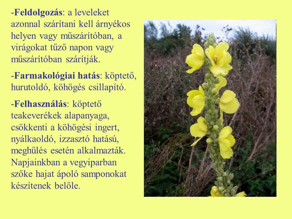 -Feldolgozás: a leveleket azonnal szárítani kell árnyékos helyen vagy műszárítóban, a virágokat tűző napon vagy műszárítóban szárítják. -Farmakológiai