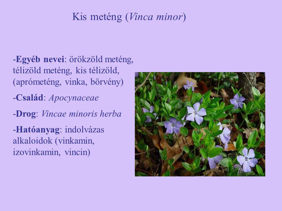 Kis meténg (Vinca minor) -Egyéb nevei: örökzöld meténg, télizöld meténg, kis télizöld, (aprómeténg, vinka, börvény) -Család: Apocynaceae -Drog: Vincae minoris herba -Hatóanyag: indolvázas alkaloidok (vinkamin, izovinkamin, vincin)
