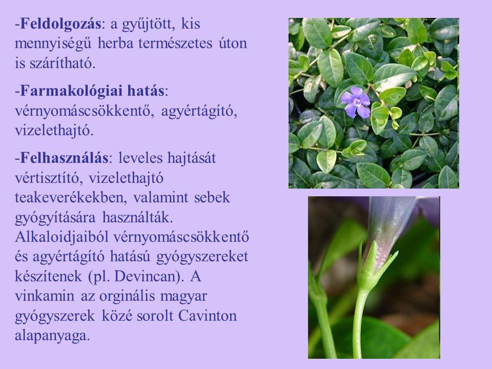 -Feldolgozás: a gyűjtött, kis mennyiségű herba természetes úton is szárítható. -Farmakológiai hatás: vérnyomáscsökkentő, agyértágító, vizelethajtó. -F