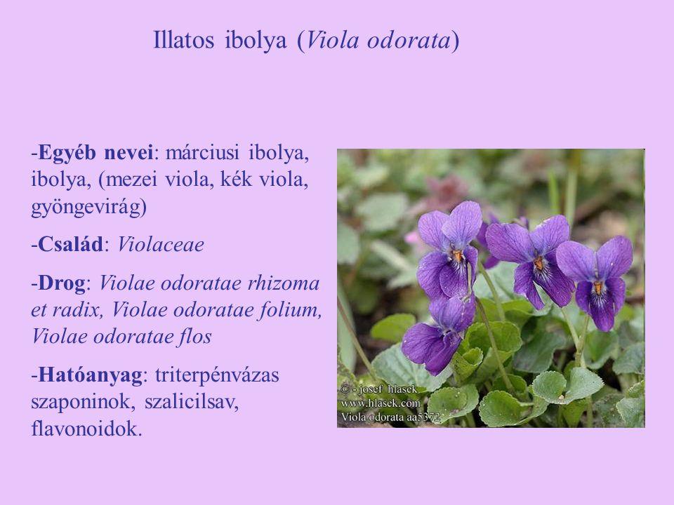 Illatos ibolya (Viola odorata) -Egyéb nevei: márciusi ibolya, ibolya, (mezei viola, kék viola, gyöngevirág) -Család: Violaceae -Drog: Violae odoratae