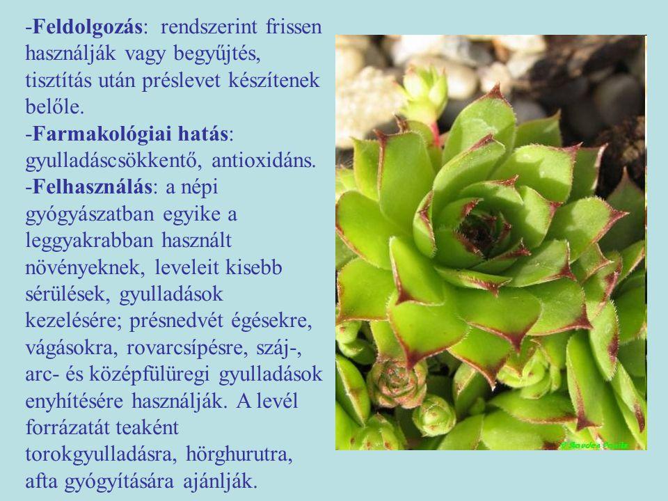 """Magas aranyvessző (Solidago gigantea) -Egyéb nevei: kései aranyvessző (régóta használt drog, középkori füveskönyvekben is említik: Solidago- """"solidare -megerősítést, gyógyítást jelent.) -Család: Asteraceae -Drog: Solidaginis herba -Hatóanyag: triterpén szaponinok, illóolaj, cseranyagok (katechinszármazékok), keserűanyagok, inulin."""
