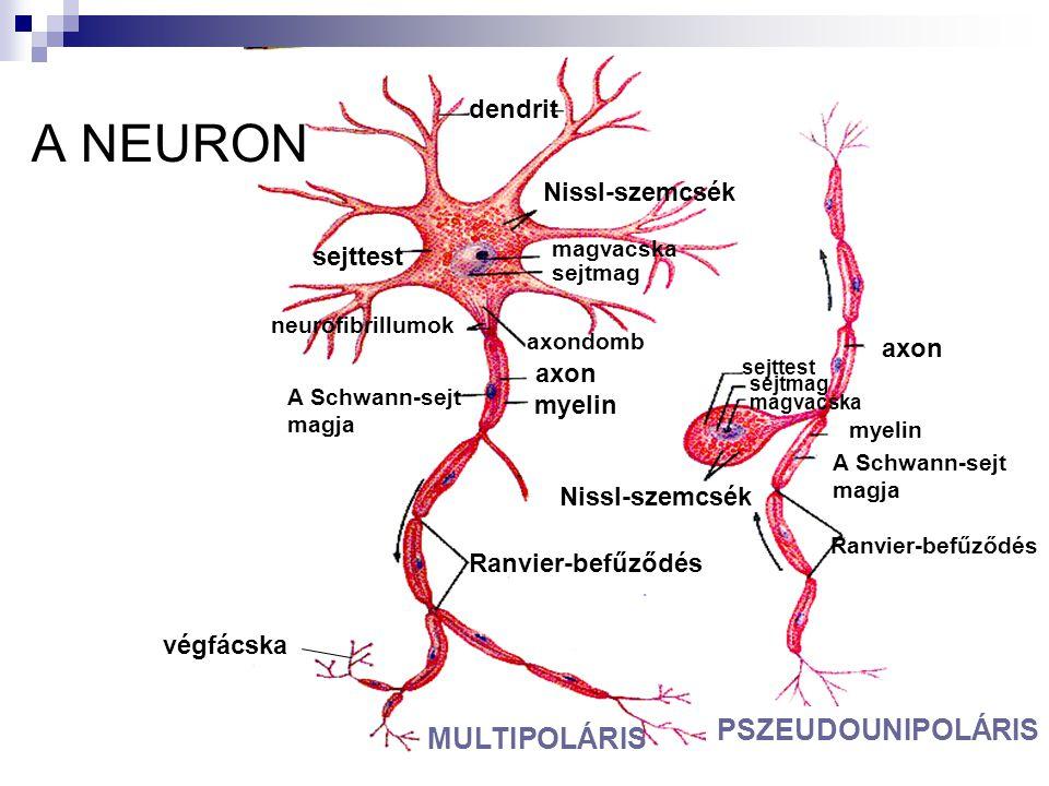 A NEURON dendrit sejttest Nissl-szemcsék sejtmag magvacska sejtmag Ranvier-befűződés magvacska axondomb neurofibrillumok axon myelin A Schwann-sejt ma
