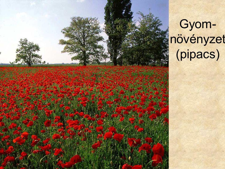 Gyom- növényzet (pipacs)