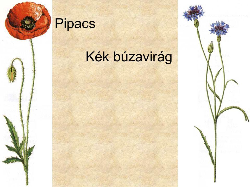Pipacs Kék búzavirág