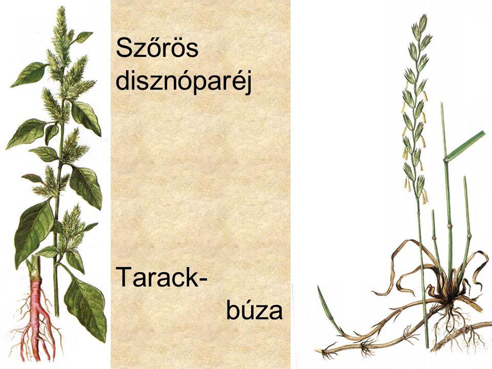 Szőrös disznóparéj Tarack- búza