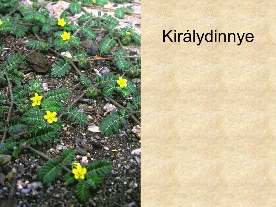 Élőhelyek és társulások CD, Kossuth Kiadó Hazánk növényvilága CD, Terra alapítvány Füvek, Magyar Könyvklub 1998.