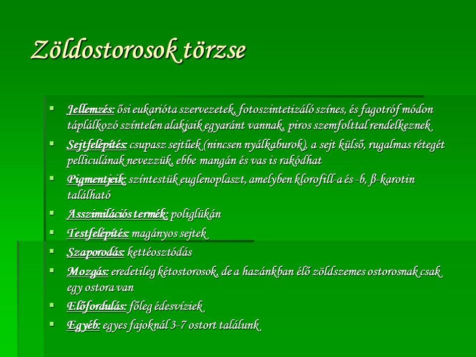 Zöldostorosok törzse  Jellemzés: ősi eukarióta szervezetek, fotoszintetizáló színes, és fagotróf módon táplálkozó színtelen alakjaik egyaránt vannak,