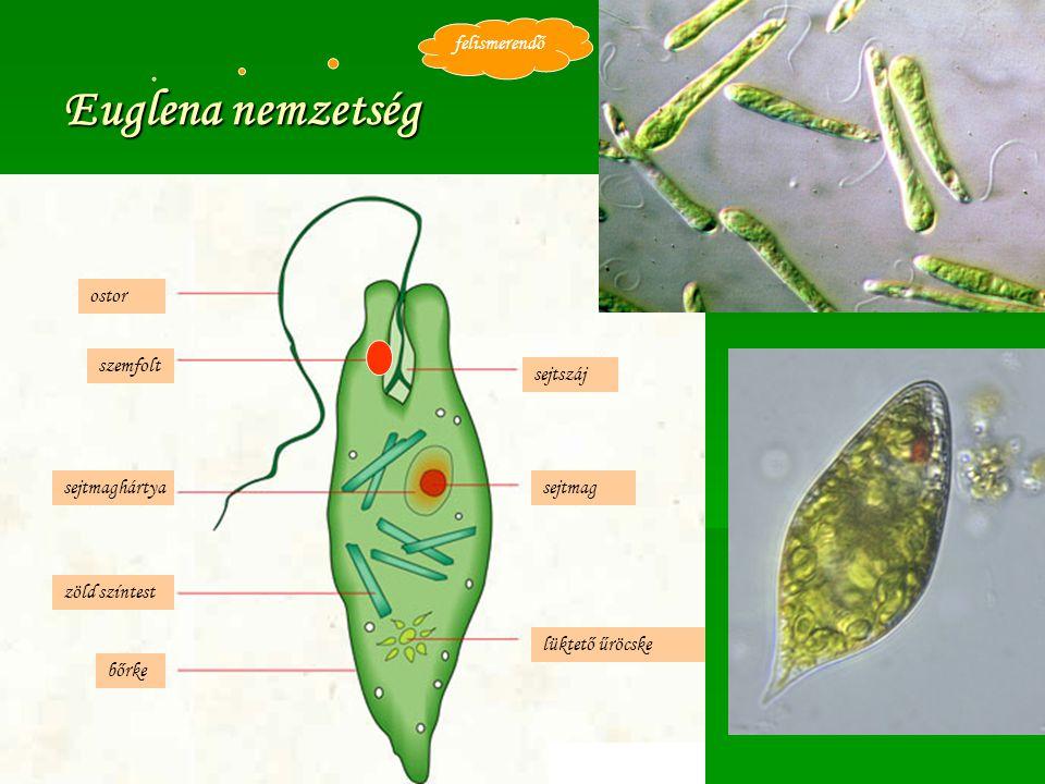 Euglena nemzetség zöld színtest ostor lüktető űröcske bőrke sejtmagsejtmaghártya szemfolt sejtszáj felismerendő