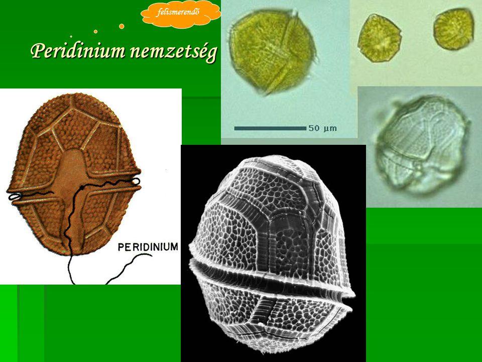 Peridinium nemzetség felismerendő