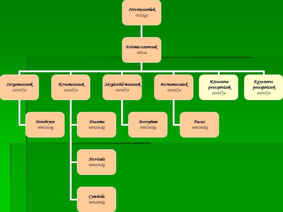 Növényszerűek országa Felemás ostorosok törzse Sárgamoszatok osztálya Dinobryon nemzetség Kovamoszatok osztálya Diatoma nemzetség Navicula nemzetség C