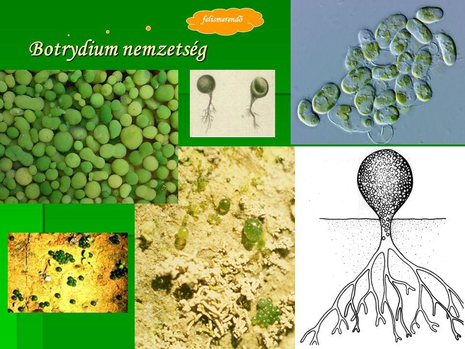 Botrydium nemzetség felismerendő