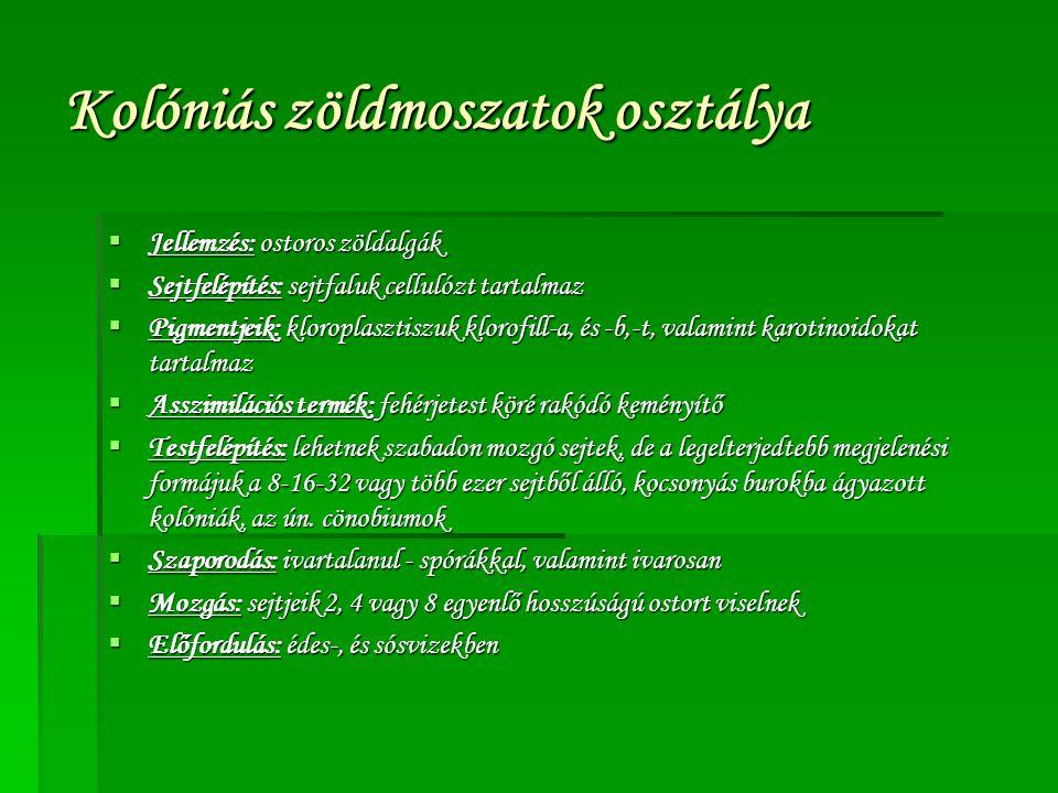 Kolóniás zöldmoszatok osztálya  Jellemzés: ostoros zöldalgák  Sejtfelépítés: sejtfaluk cellulózt tartalmaz  Pigmentjeik: kloroplasztiszuk klorofill-a, és -b,-t, valamint karotinoidokat tartalmaz  Asszimilációs termék: fehérjetest köré rakódó keményítő  Testfelépítés: lehetnek szabadon mozgó sejtek, de a legelterjedtebb megjelenési formájuk a 8-16-32 vagy több ezer sejtből álló, kocsonyás burokba ágyazott kolóniák, az ún.
