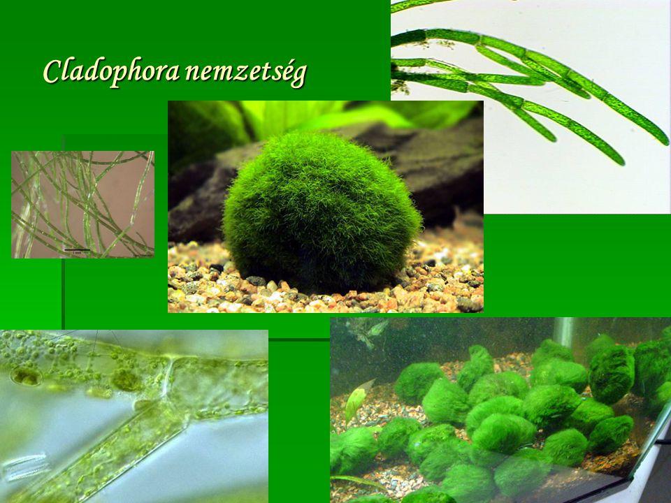 Cladophora nemzetség
