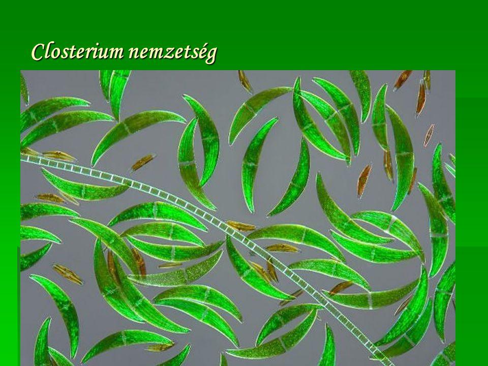 Closterium nemzetség