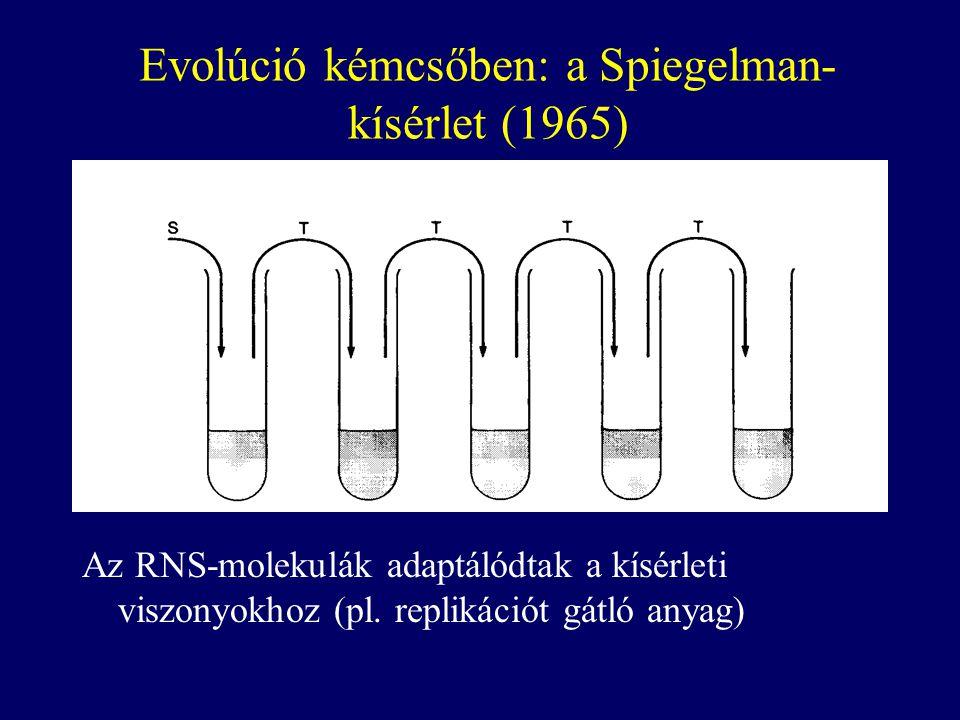 Evolúció kémcsőben: a Spiegelman- kísérlet (1965) Az RNS-molekulák adaptálódtak a kísérleti viszonyokhoz (pl. replikációt gátló anyag)