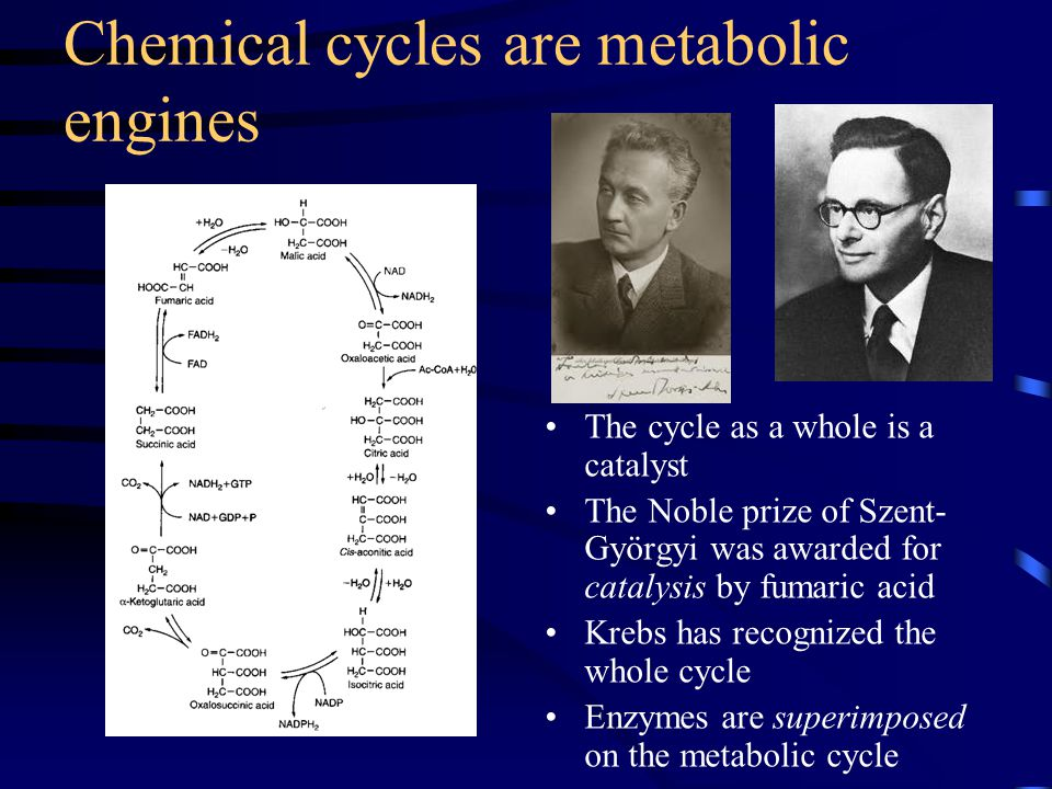 Chemical cycles are metabolic engines The cycle as a whole is a catalyst The Noble prize of Szent- Györgyi was awarded for catalysis by fumaric acid K