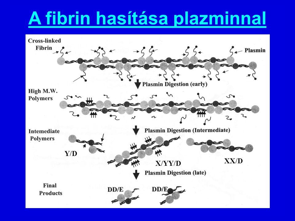 A fibrin hasítása plazminnal Y/D XX/D X/YY/D