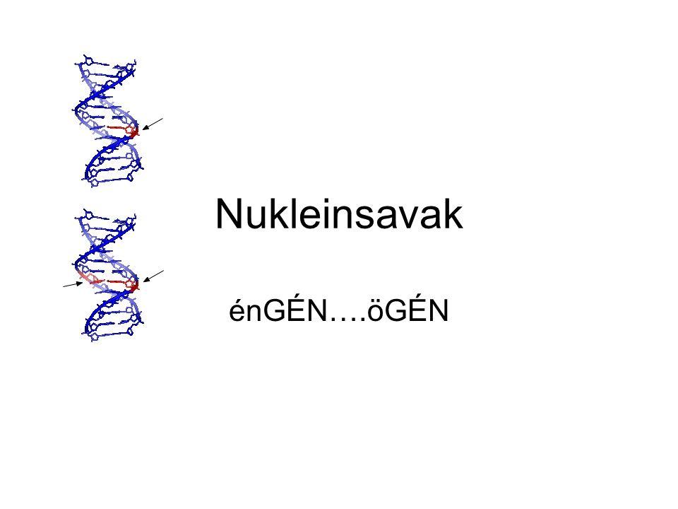 Általános Jellemzés Az élő szervezet minden biológiai tulajdonságának átörökítéséért felelős makromolekulák.