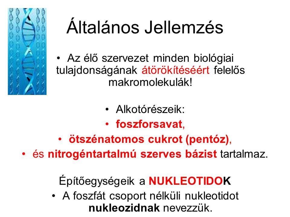 A nukleotidok felépítése: PENTÓZ: ribóz (RNS) vagy dezoxi-ribóz (DNS).