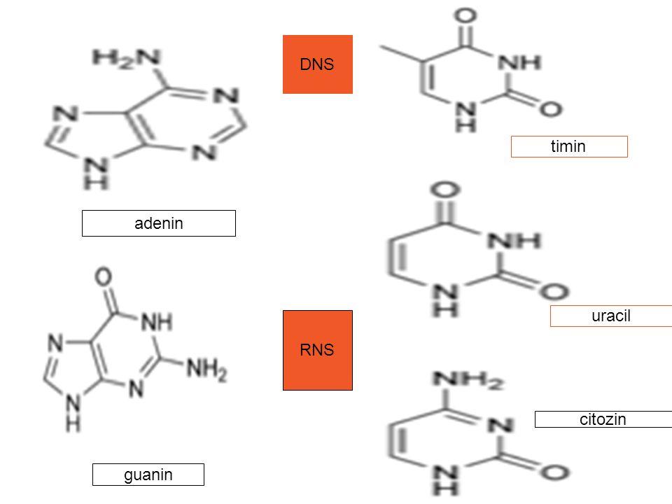 guanin adenin timin citozin uracil DNS RNS