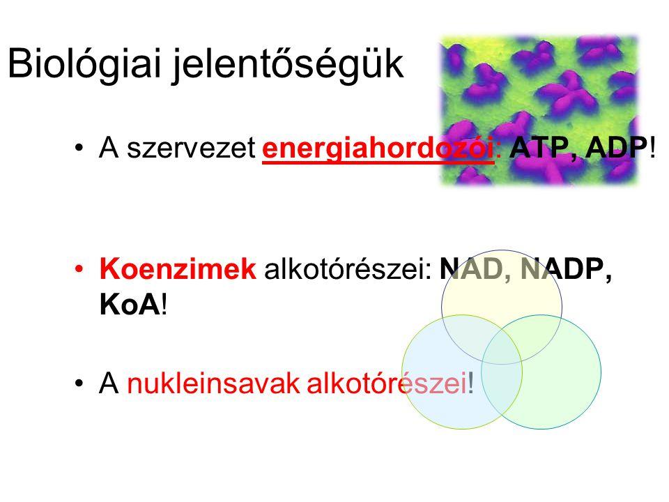 Biológiai jelentőségük A szervezet energiahordozói: ATP, ADP! Koenzimek alkotórészei: NAD, NADP, KoA! A nukleinsavak alkotórészei!