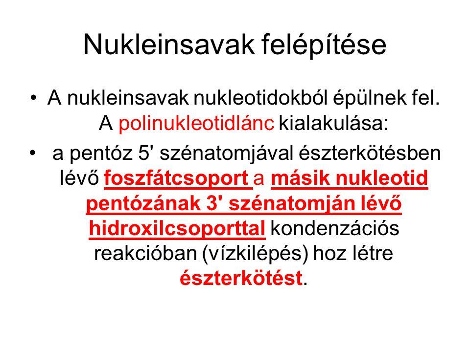 Nukleinsavak felépítése A nukleinsavak nukleotidokból épülnek fel. A polinukleotidlánc kialakulása: a pentóz 5' szénatomjával észterkötésben lévő fosz