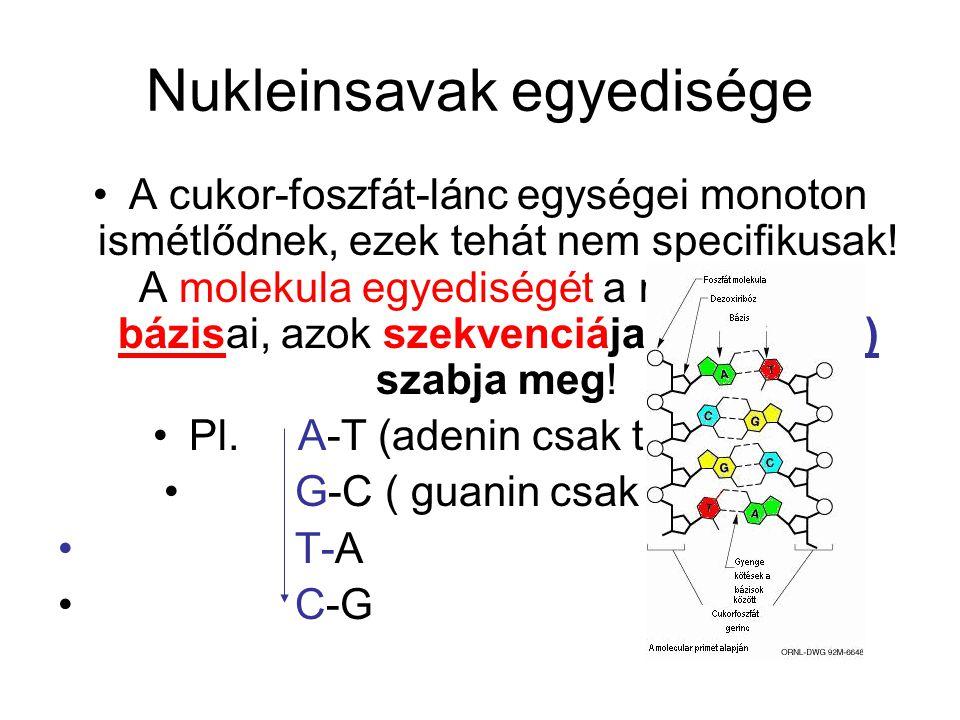 Nukleinsavak egyedisége A cukor-foszfát-lánc egységei monoton ismétlődnek, ezek tehát nem specifikusak! A molekula egyediségét a nukleotidok bázisai,