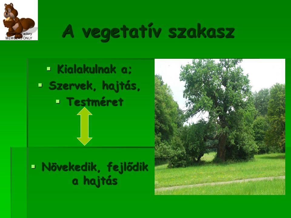 A vegetatív szakasz KKKKialakulnak a; SSSSzervek, hajtás, TTTTestméret NNNNövekedik, fejlődik a hajtás