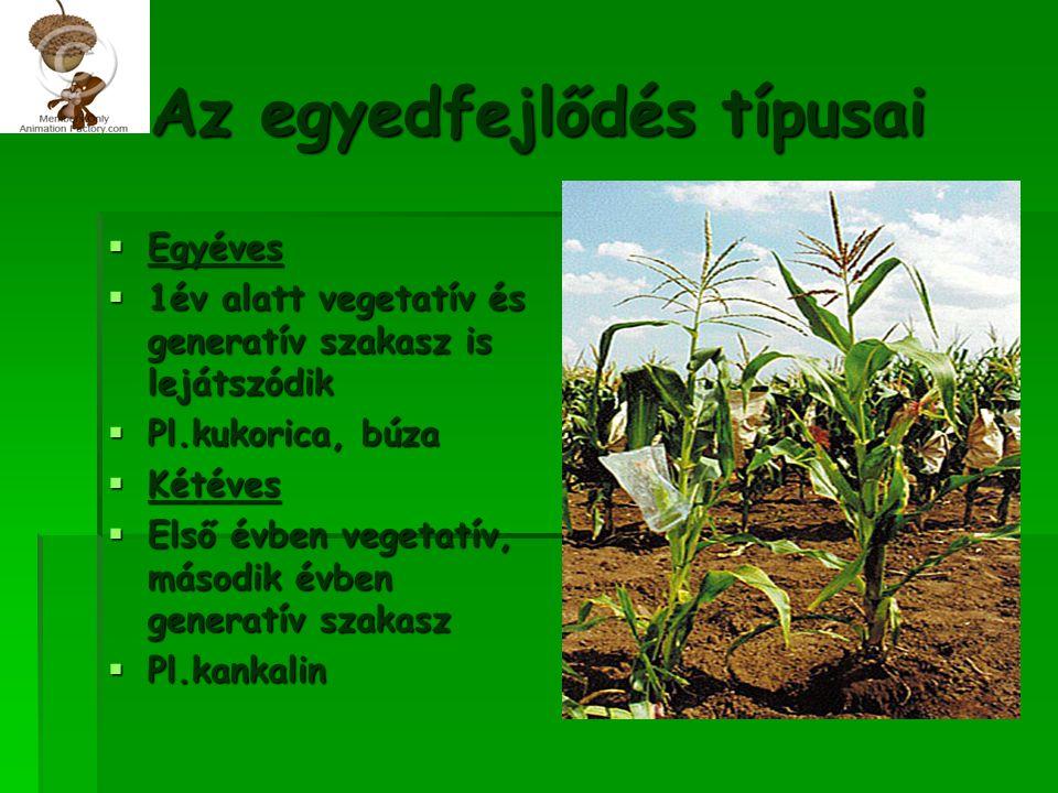 Az egyedfejlődés típusai  Egyéves  1év alatt vegetatív és generatív szakasz is lejátszódik  Pl.kukorica, búza  Kétéves  Első évben vegetatív, más