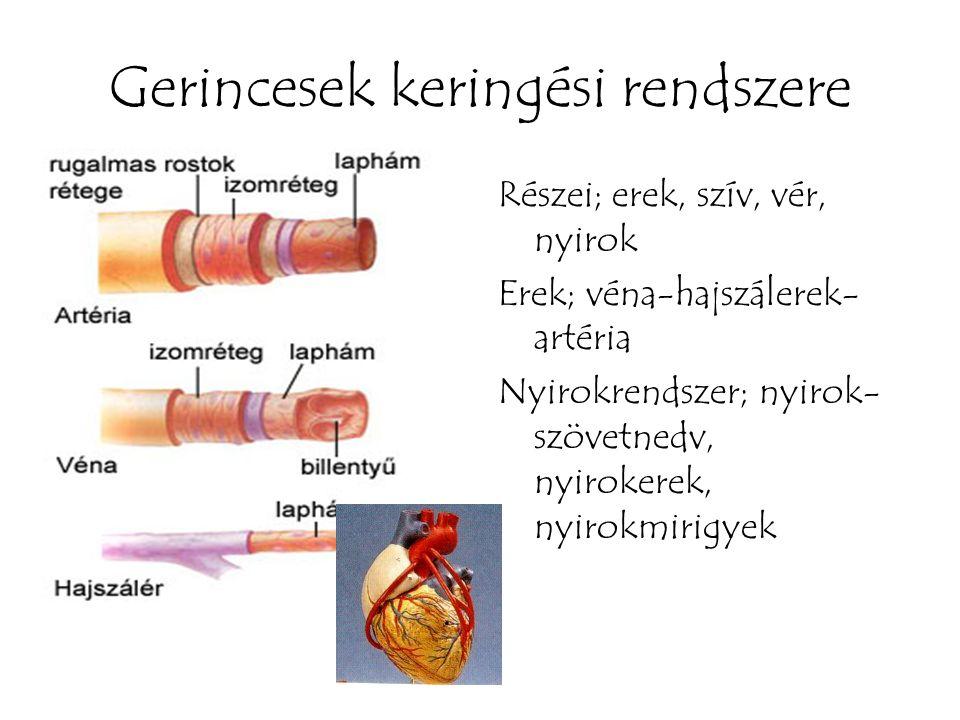 Gerincesek keringési rendszere Részei; erek, szív, vér, nyirok Erek; véna-hajszálerek- artéria Nyirokrendszer; nyirok- szövetnedv, nyirokerek, nyirokm