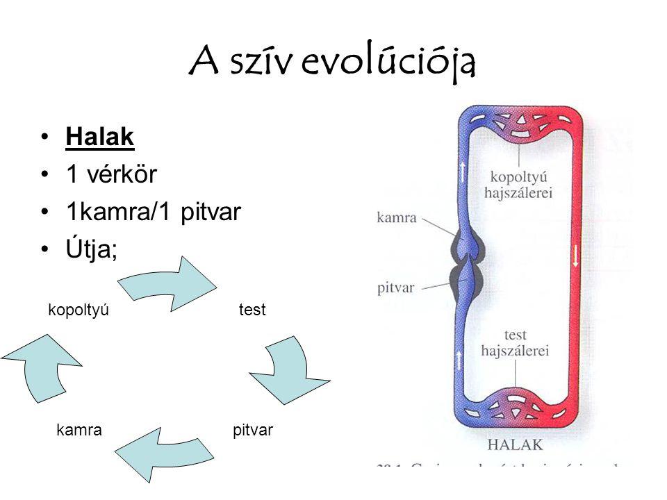 A szív evolúciója Halak 1 vérkör 1kamra/1 pitvar Útja; test pitvarkamra kopoltyú