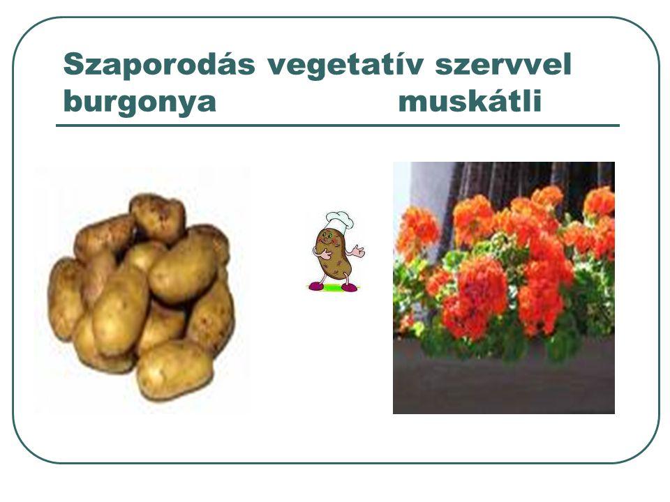 Szaporodás vegetatív szervvel burgonyamuskátli