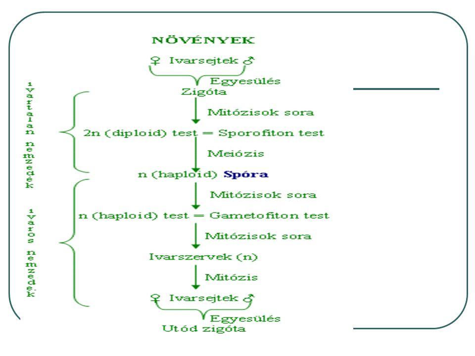 A megtermékenyítés lépései zigóta 1.Pollen bibepárnára jut 2.