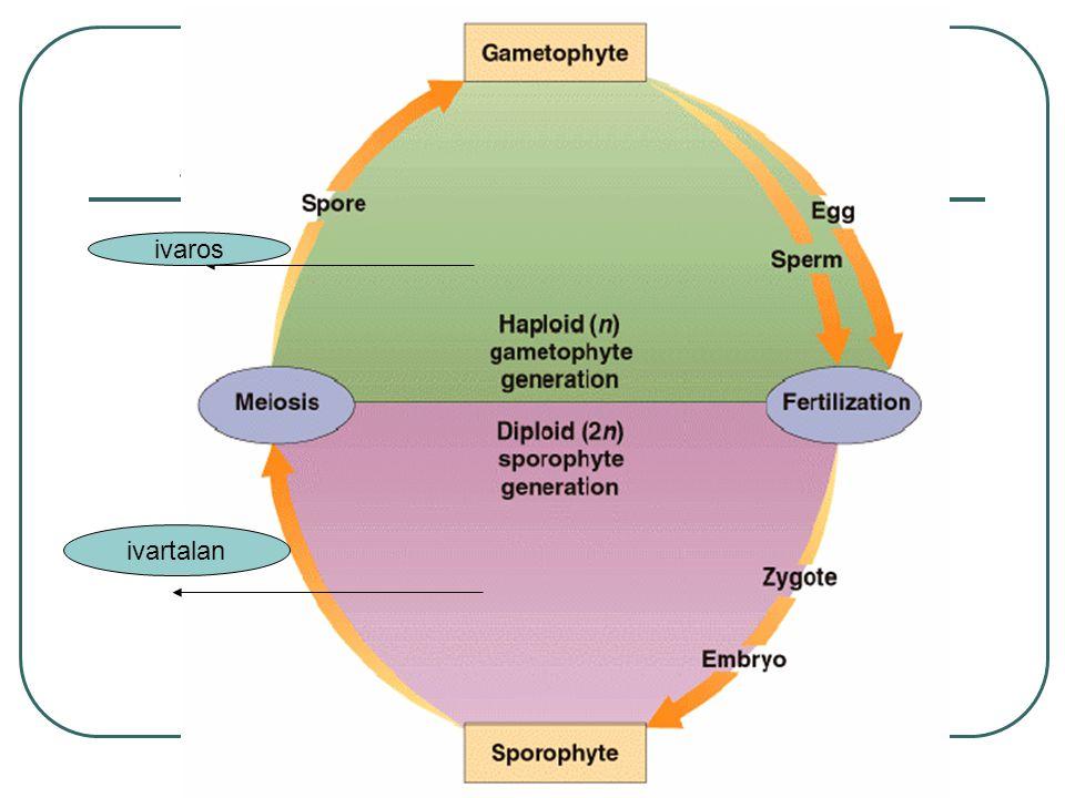Miből lesz a…… Csíra zigótából Táplálószövet megtermékenyített központi sejt Maghéj magkezdemény burka Termés fala termő fala Terméstermő