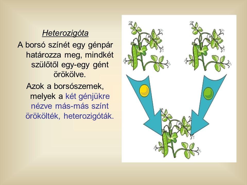 Heterozigóta A borsó színét egy génpár határozza meg, mindkét szülőtől egy-egy gént örökölve. Azok a borsószemek, melyek a két génjükre nézve más-más