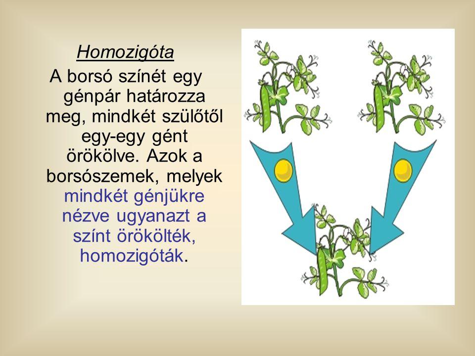 Homozigóta A borsó színét egy génpár határozza meg, mindkét szülőtől egy-egy gént örökölve. Azok a borsószemek, melyek mindkét génjükre nézve ugyanazt