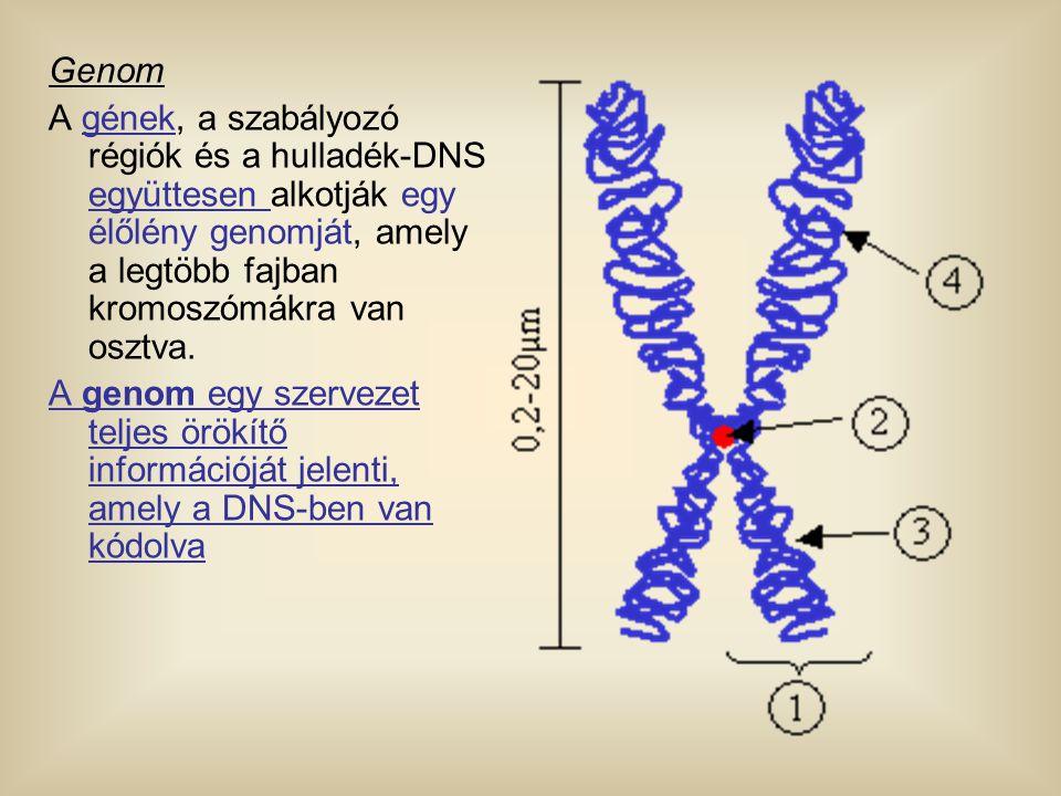 Genom A gének, a szabályozó régiók és a hulladék-DNS együttesen alkotják egy élőlény genomját, amely a legtöbb fajban kromoszómákra van osztva. A geno