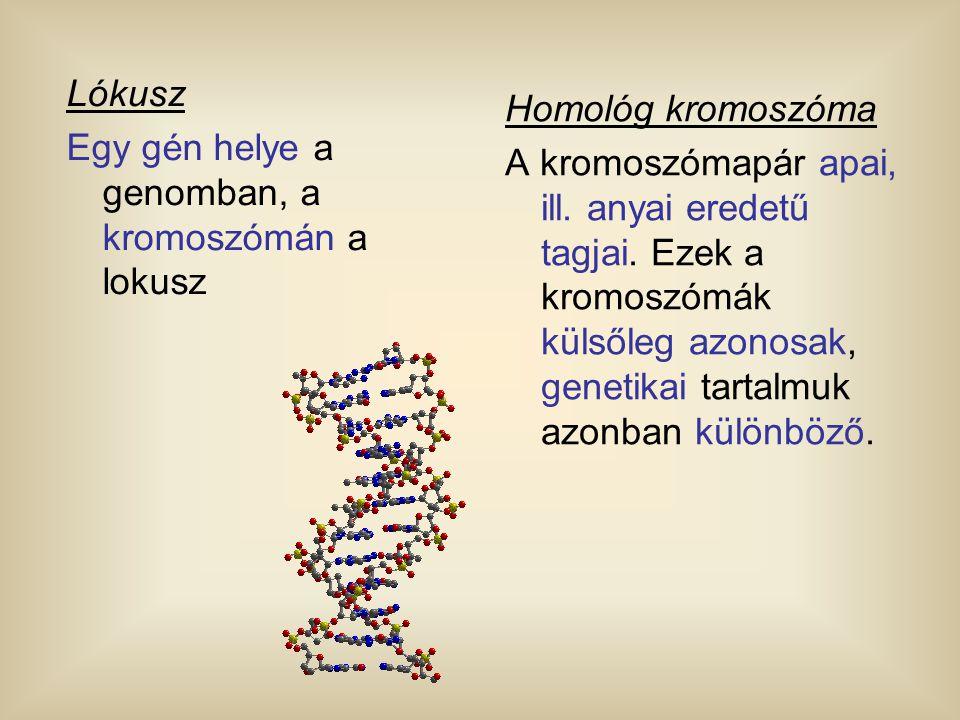 Lókusz Egy gén helye a genomban, a kromoszómán a lokusz Homológ kromoszóma A kromoszómapár apai, ill. anyai eredetű tagjai. Ezek a kromoszómák külsőle