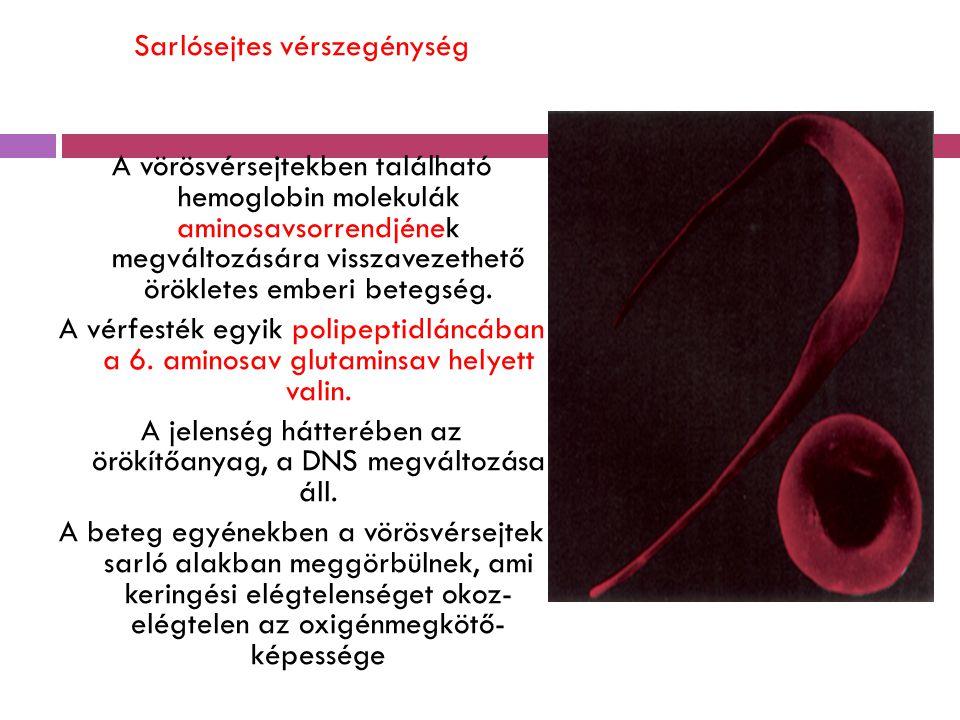 Sarlósejtes vérszegénység A vörösvérsejtekben található hemoglobin molekulák aminosavsorrendjének megváltozására visszavezethető örökletes emberi bete
