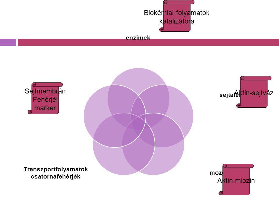 enzimek sejtalak mozgás Transzportfolyamatok csatornafehérjék markerek Biokémiai folyamatok katalizátora Aktin-sejtváz Aktin-miozin Sejtmembrán Fehérj