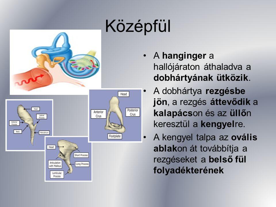 Középfül A hanginger a hallójáraton áthaladva a dobhártyának ütközik. A dobhártya rezgésbe jön, a rezgés áttevődik a kalapácson és az üllőn keresztül