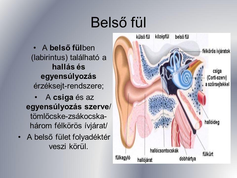 A belső fülben (labirintus) található a hallás és egyensúlyozás érzéksejt-rendszere; A csiga és az egyensúlyozás szerve/ tömlőcske-zsákocska- három fé