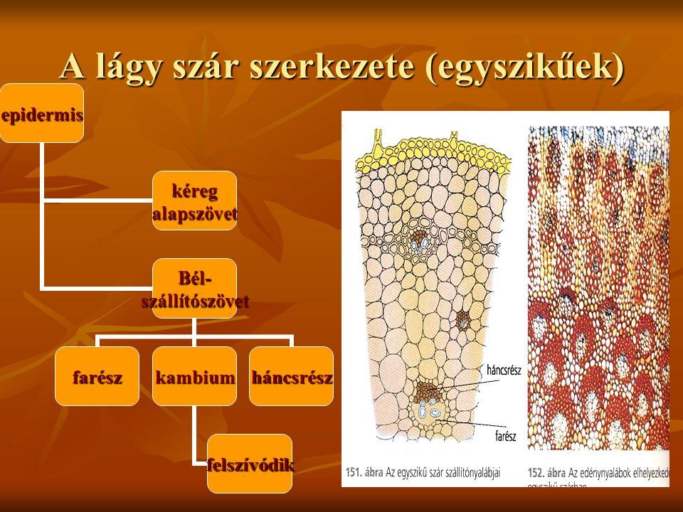A lágy szár szerkezete (egyszikűek) epidermis kéregalapszövet Bél-szállítószövet farészkambium felszívódik háncsrész