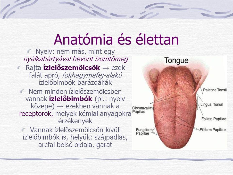 Anatómia és élettan Nyelv: nem más, mint egy nyálkahártyával bevont izomtömeg Rajta ízlelőszemölcsök → ezek falát apró, fokhagymafej-alakú ízlelőbimbó