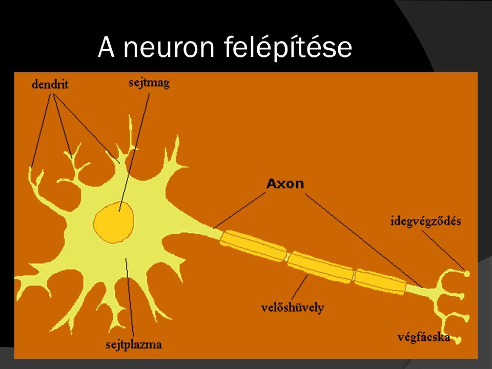 A neuron felépítése