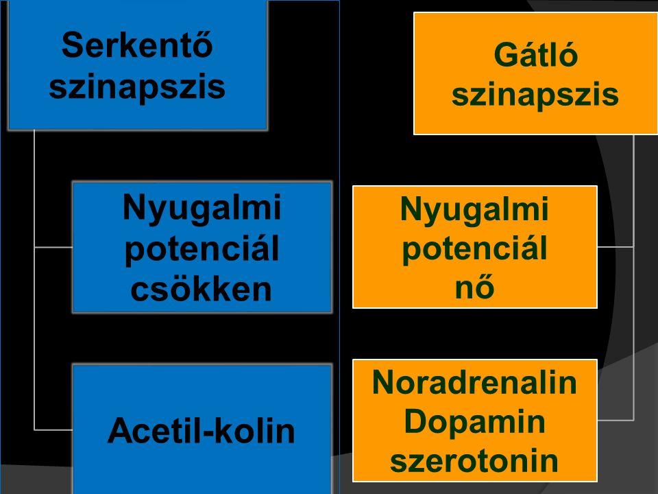 Serkentő szinapszis Nyugalmi potenciál csökken Acetil-kolin Gátló szinapszis Nyugalmi potenciál nő Noradrenalin Dopamin szerotonin